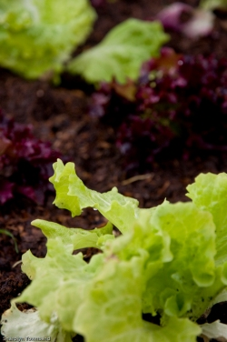 lettuce of two varieties