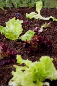 lettuce of two varieties