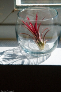Gorgeous, mini, fuchsia air plant